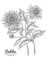 Dahlia flower and leaf hand drawn botanical illustration with line art on white backgrounds. vector