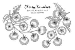 Cherry tomato hand drawn botanical illustration with line art on white backgrounds. vector