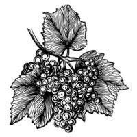 uvas aisladas sobre fondo blanco. Ilustración de vector dibujado a mano de vid.