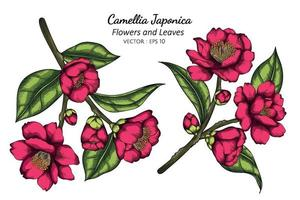 Pink Camellia Japonica flower and leaf drawing illustration with line art on white backgrounds. vector
