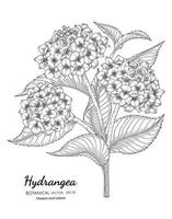 Hydrangea flower and leaf hand drawn botanical illustration with line art on white backgrounds. vector
