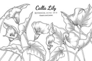 Calla Lily flower and leaf hand drawn botanical illustration with line art on white backgrounds. vector