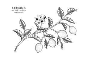 Lemons fruit hand drawn botanical illustration with line art. vector