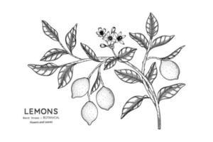 limones fruta dibujada a mano ilustración botánica con arte lineal. vector