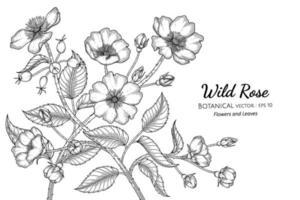 Ilustración botánica dibujada a mano de flores y hojas de rosas silvestres con arte lineal sobre fondos blancos. vector
