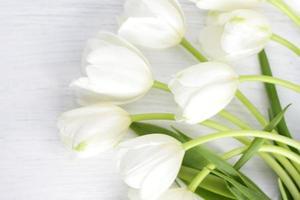 White tulips on white wood photo