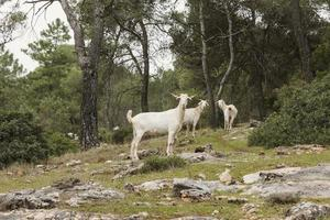 Wild goats in nature photo