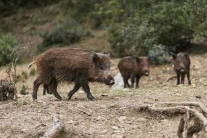 Wild boars in nature photo