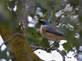 colirrojo común en un árbol foto