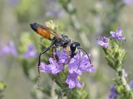Golden digger wasp photo