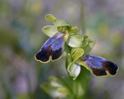 primer plano de ophrys phaidra foto