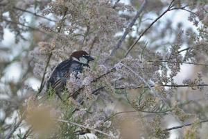 Spanish sparrow perched in a tree photo