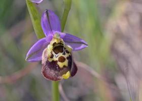 flor de ophrys episcopalis foto