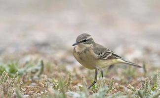 Close-up of  a western yellow wagtail photo