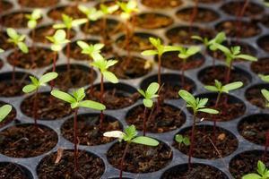 Marigold seedling starters photo