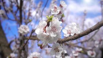 flores de albaricoque en el árbol video