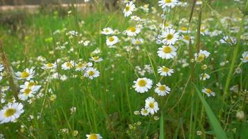flor margarida branca na natureza video