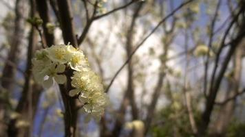 flores de ciruelo en el árbol video