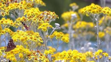 buttarfly llamado vanessa cardui en flores amarillas video