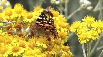 Vanessa Cardui mit Buttarfly-Namen auf gelben Blumen video