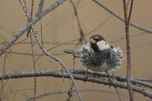 Spanish sparrow in a tree photo