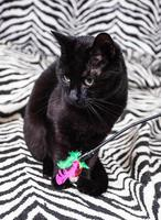 Black cat with feather wand photo