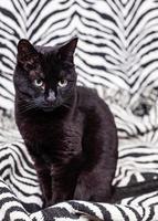 Black cat on a zebra pattern photo