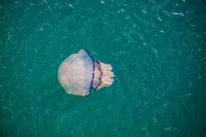 medusas en el mar adriático foto
