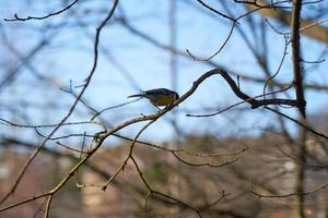 Chickadee on a tree branch photo