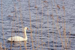 White swan on the Baltic Sea photo
