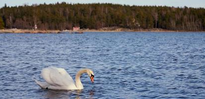 White swan on the ocean photo