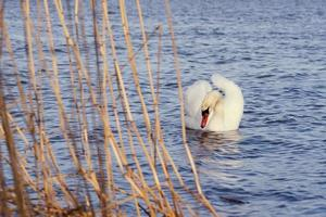 White swan in the water photo