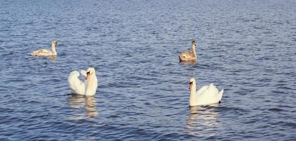 White swan family on the Baltic Sea photo