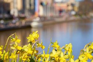 Daffodils with city in the background photo