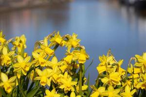 Daffodils with water photo