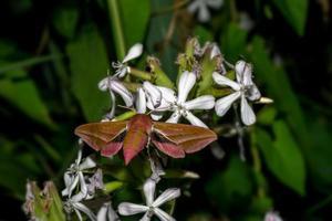 Flying moth on white flowers in the dark photo
