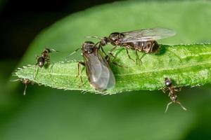 Hormigas de jardín aladas en una hoja foto