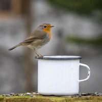 petirrojo europeo en una taza de café foto