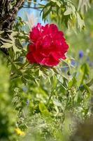 peonía roja en el jardín foto