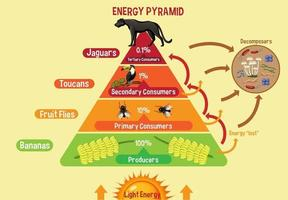 Diagram showing energy pyramid for education vector