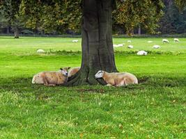 Sheep resting under a tree in a field photo