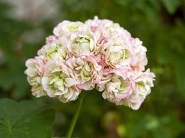 Beautiful pink Pelargonium geranium Apple Blossom Rosebud flower photo
