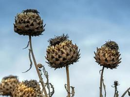 Cardo terminado flowersra cardunculus contra un cielo azul foto
