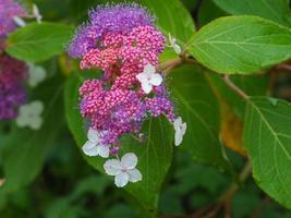Beautiful mauve flowers and pink buds of Hydrangea aspera Rocklon photo