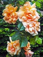 Hermosas rosas trepadoras de color melocotón ligeramente marchitas foto