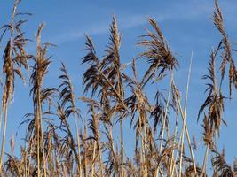 Cañas captando la luz del sol contra un cielo azul foto