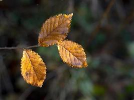 hojas de haya dorada capturando la luz solar baja de invierno foto