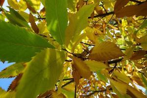Autumn leaves of chestnut tree Aesculus hippocastanum photo