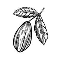 ilustración de dibujado a mano de fruta de cacao vector