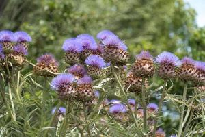 cardo lanza flores moradas foto